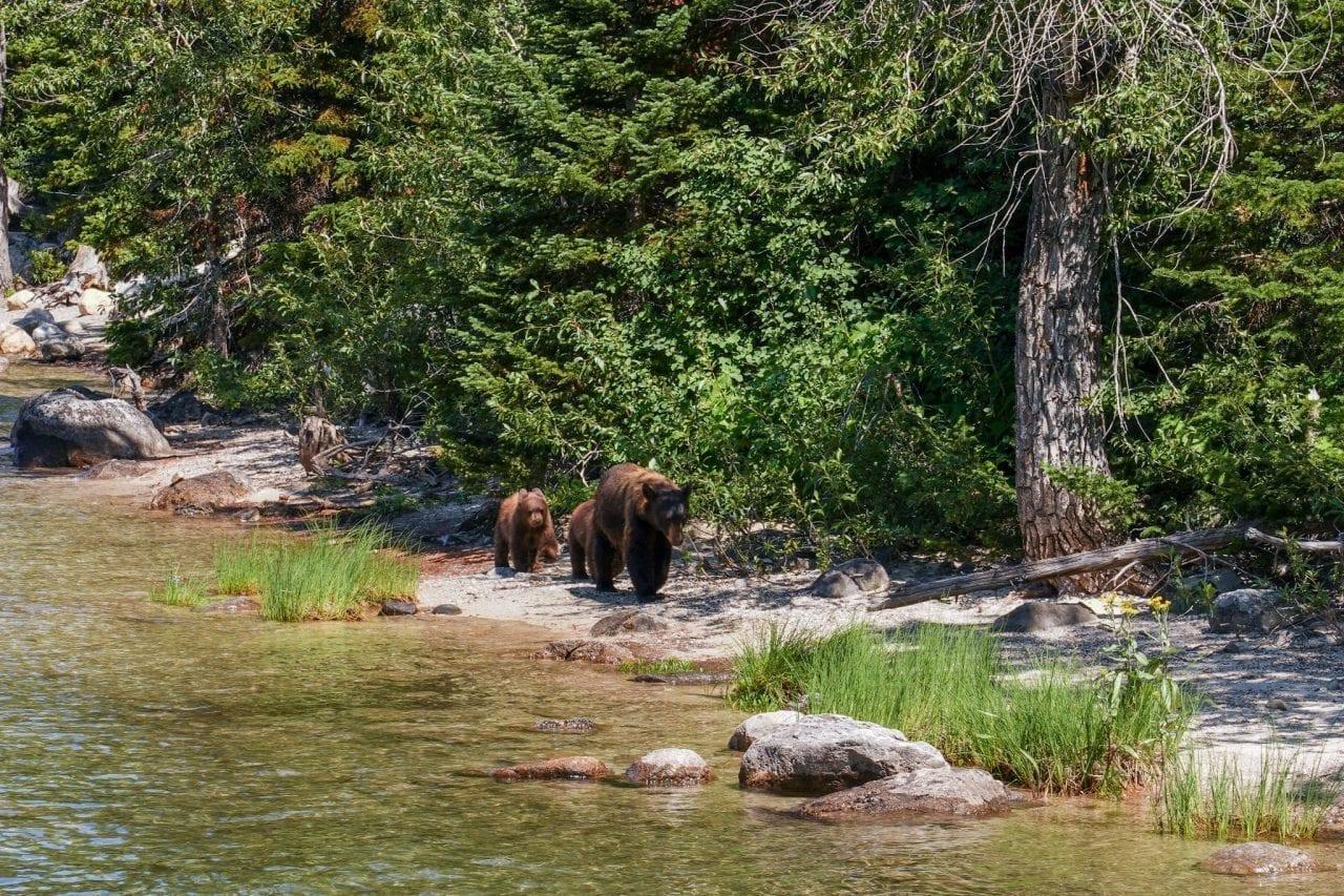 Unusual sighting of Bears at Jenny Lake