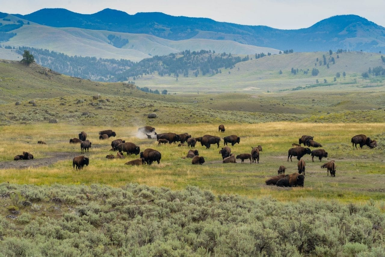 Bison herd by the roadside in Lamar Valley