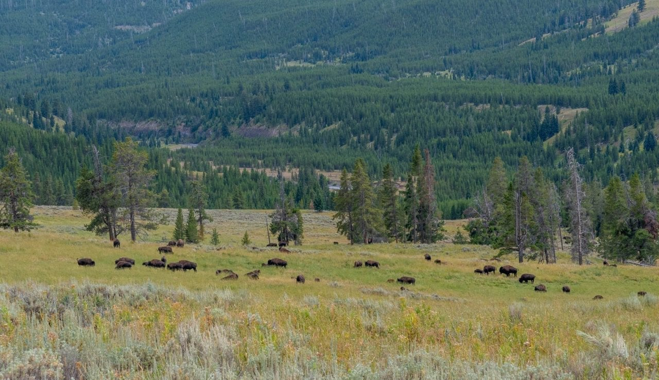 Bison herd spotted in Lamar Valley