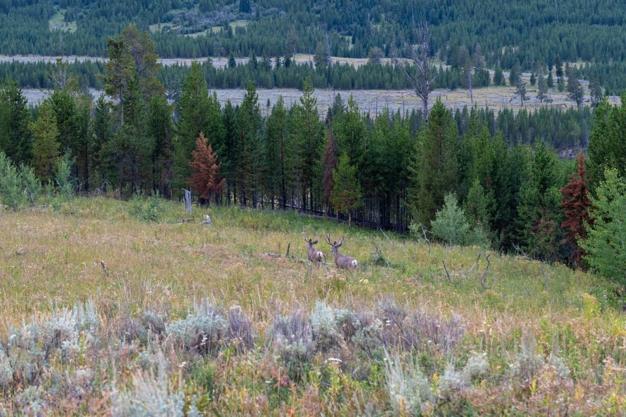 Deer spotted in Lamar Valley