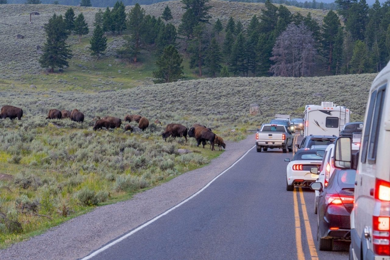 Flock of bison causes traffic jam in Lamar Valley